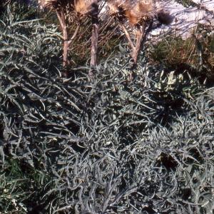 Photographie n°76898 du taxon Cynara cardunculus L.
