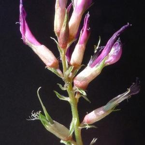 Astragalus monspessulanus L. (Astragale de Montpellier)