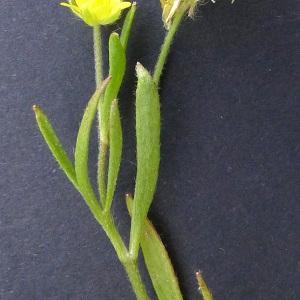 Photographie n°76918 du taxon Ranunculus arvensis L. [1753]