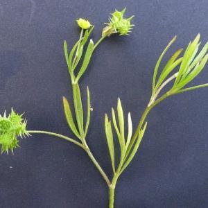 Photographie n°76920 du taxon Ranunculus arvensis L.