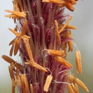Imperata cylindrica (L.) Räusch. (Impérata cylindrique)