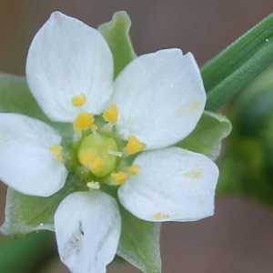 Spergula arvensis L. [1753] (Spargoute des champs)
