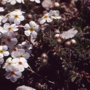 Photographie n°77013 du taxon Androsace villosa L. [1753]