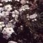 Liliane Roubaudi - Androsace villosa L. [1753]