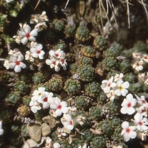 Photographie n°77015 du taxon Androsace villosa L. [1753]