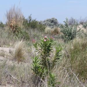 Photographie n°77026 du taxon Nerium oleander L. [1753]