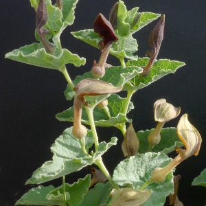Pistolochia latifolia Raf. [1838] (Aristoloche pistoloche)