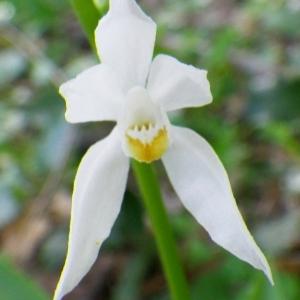 Serapias helleborine var. longifolia L. (Céphalanthère à feuilles en épée)