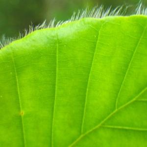 Photographie n°77136 du taxon Fagus sylvatica L.