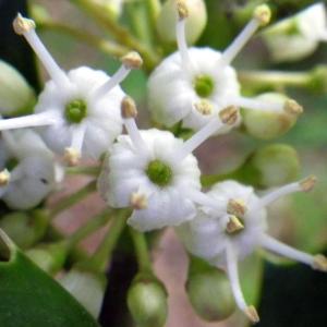 Ilex aquifolium L. (Houx)