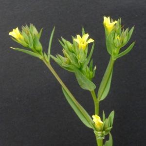 Photographie n°77157 du taxon Linum strictum L. [1753]
