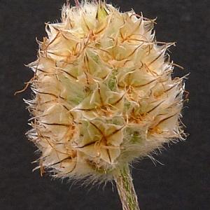 Plantago lagopus L. (Pied-de-lièvre)