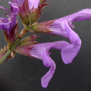 Salvia officinalis L. (Sauge officinale)