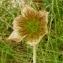 Alain Bigou - Anemone vernalis L. [1753]