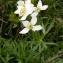 Alain Bigou - Anemone narcissifolia subsp. narcissifolia