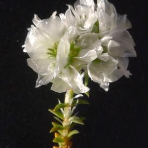 Photographie n°77262 du taxon Paronychia capitata (L.) Lam. [1779]