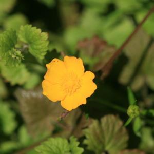 Photographie n°77313 du taxon Ranunculus repens L. [1753]