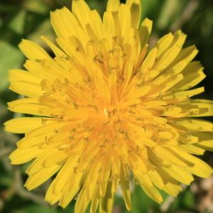 Taraxacum sp.
