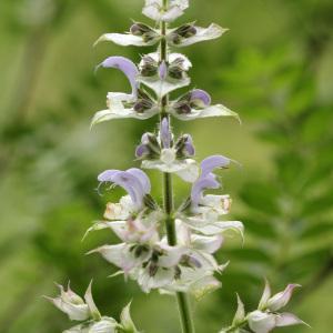 Photographie n°77323 du taxon Salvia sclarea L.