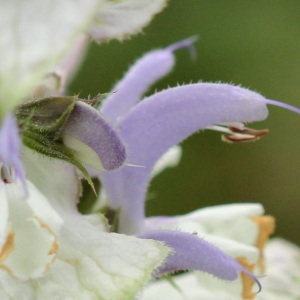 Photographie n°77325 du taxon Salvia sclarea L.