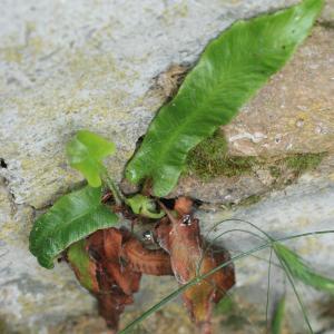 Photographie n°77357 du taxon Phyllitis scolopendrium (L.) Newman [1844]