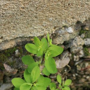 Photographie n°77360 du taxon Euphorbia peplus L. [1753]