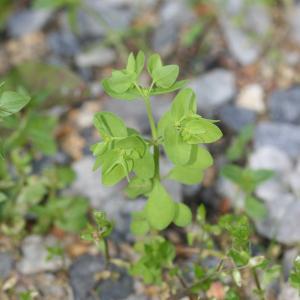 Photographie n°77365 du taxon Euphorbia peplus L. [1753]