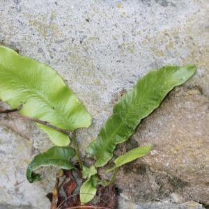 Photographie n°77371 du taxon Phyllitis scolopendrium (L.) Newman [1844]