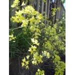 Biscutella brevicaulis sensu auct. gall. (Biscutelle à feuilles de corne-de-cerf)