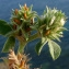 Bertrand BUI - Trifolium scabrum L. [1753]