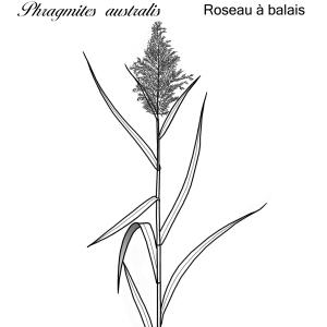 Photographie n°77630 du taxon Phragmites australis (Cav.) Trin. ex Steud. [1840]