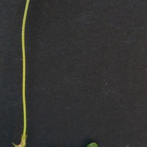 Photographie n°77693 du taxon Geranium columbinum L.