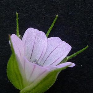 Photographie n°77694 du taxon Geranium columbinum L.