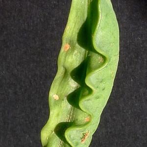 Photographie n°77697 du taxon Lathyrus ochrus (L.) DC.