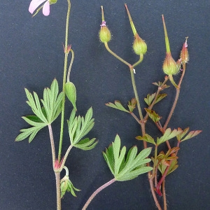Photographie n°77719 du taxon Geranium columbinum L.