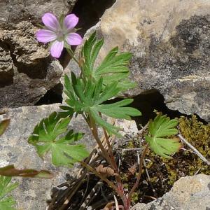 Photographie n°77722 du taxon Geranium columbinum L.