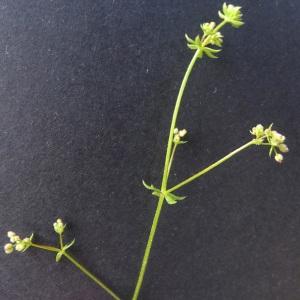 Photographie n°77774 du taxon Galium parisiense L. [1753]