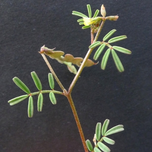 Photographie n°77782 du taxon Hippocrepis ciliata Willd.