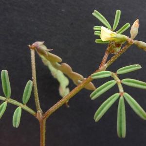Photographie n°77783 du taxon Hippocrepis ciliata Willd.