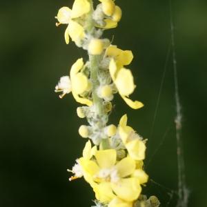 Photographie n°77823 du taxon Verbascum pulverulentum Vill.