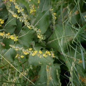 Photographie n°77883 du taxon Verbascum pulverulentum Vill.