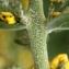 Liliane Roubaudi - Verbascum pulverulentum Vill. [1779]