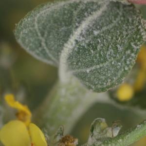 Photographie n°77887 du taxon Verbascum pulverulentum Vill.
