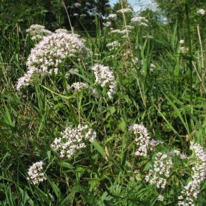 - Valeriana officinalis subsp. repens (Host) O.Bolòs & Vigo [1983]