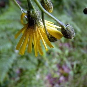 Photographie n°77899 du taxon Hieracium laevigatum Willd. [1803]