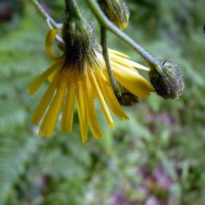 Photographie n°77900 du taxon Hieracium laevigatum Willd. [1803]
