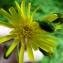 Emmanuel Stratmains - Hieracium laevigatum Willd. [1803]