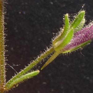 Photographie n°77918 du taxon Chaenorhinum rubrifolium (Robill. & Castagne ex DC.) Fourr. [1869]