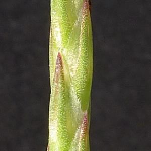 Crucianella latifolia L. (Crucianelle à larges feuilles)