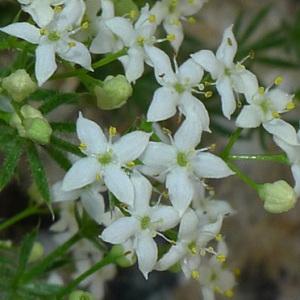 Galium pusillum L. (Gaillet fluet)
